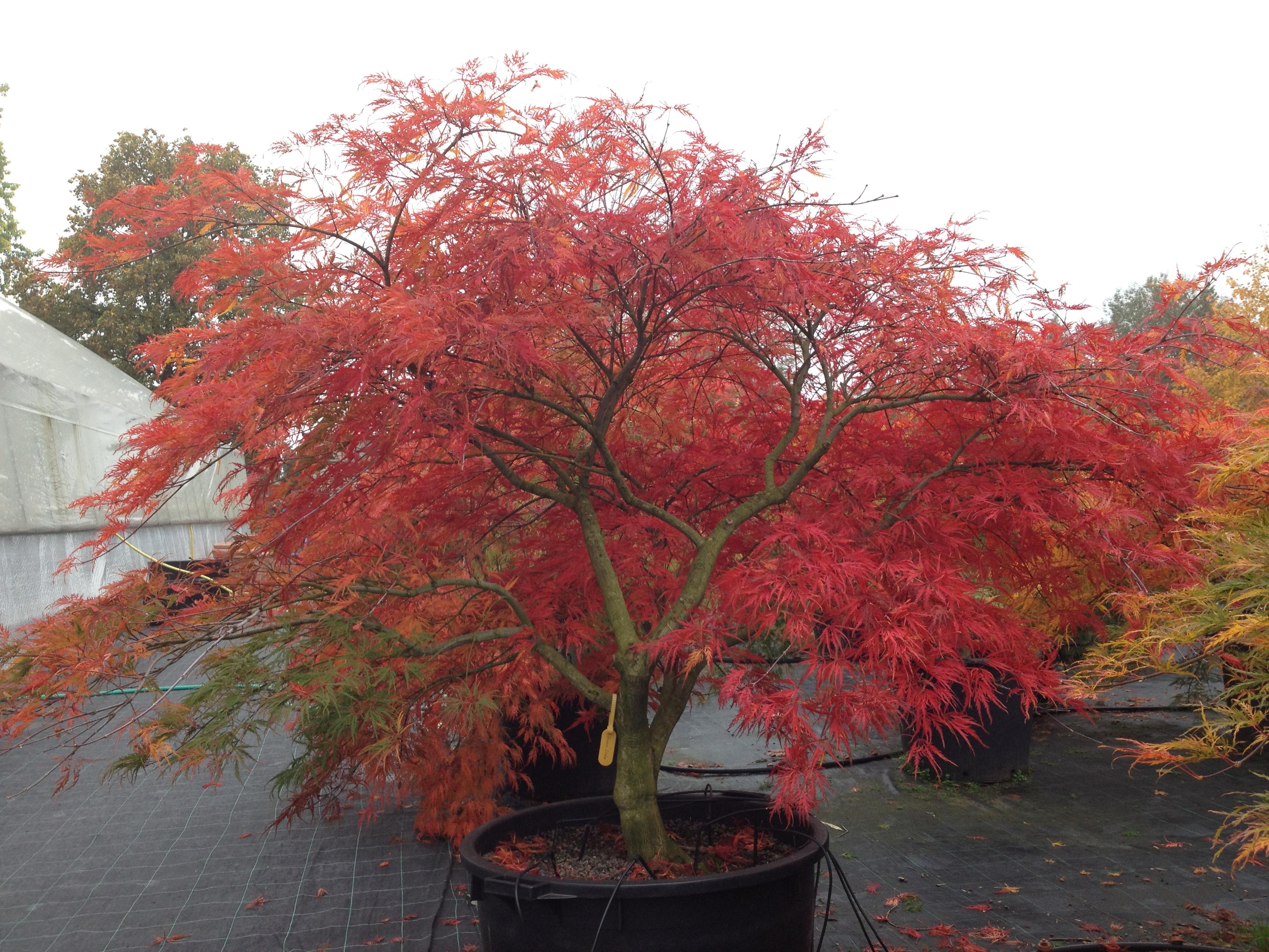 Acer Palmatum Green Globe Mit Herbstfärbung Langzeit Erde