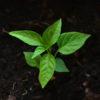 Pflanze_aus_Erde